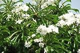 Plumeria pudica (Pudica) Un-Rooted Cutting