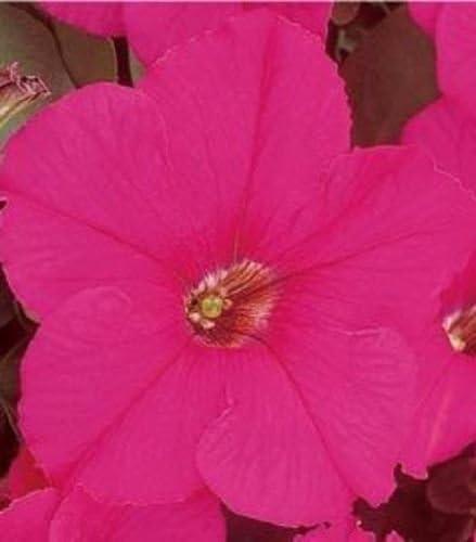 50 Pelleted Petunia Seeds Supercascade Rose
