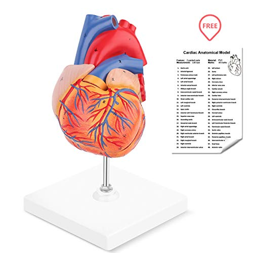 - RONTEN Human Heart Model, 2-Part Life Size Anatomically Accurate Numbered Heart Medical Model, Held Together with Magnets on Base
