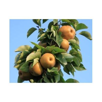 Atago Asian Pear Tree - 2 Year Old 4-5 Ft Tall - Bob Wells Nursery : Garden & Outdoor