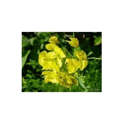 SD0112 Horseradish Seeds, Chinese Horseradish Wasabi Seed, Wasabe Seeds (10 Seeds) : Horseradish Plants : Garden & Outdoor