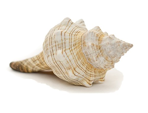 "Striped Fox Sea Shell | Striped Fox Conch Sea Shells | 6"" Collector Shell 