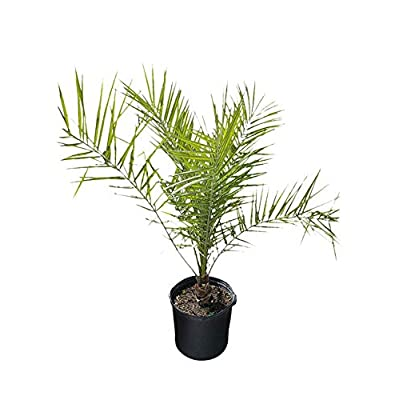 PlantVine Phoenix canariensis, Canary Island Date Palm, Pineapple Palm - Large - 8-10 Inch Pot (3 Gallon), Live Plant : Garden & Outdoor