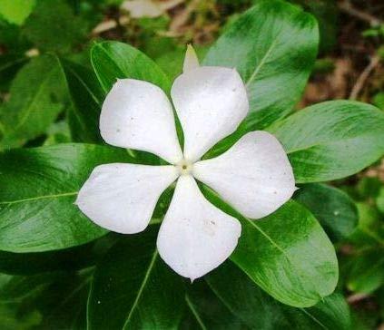 Plant House Live Sadabahar Catharanthus Roseus White Flower Plant