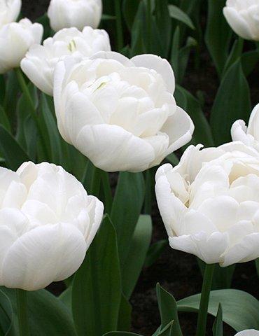 SILKSART White 15 Tulip Bulbs early bloom Perennial Bulbs for Garden Planting Beautiful Flower--SHIPPING NOW!!! by SILKSART
