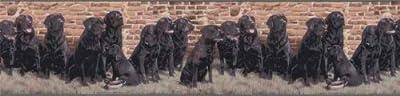 Labrador Retriever Dogs Wallpaper Border…