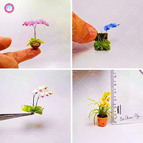 - Plants Indoor Flowers Pot Orchid 100PCS Rare Mini Orchid Plant Phalaenopsis Plant Indoor Miniature Garden Bonsai Flower Plant Orchid Potted Plant for Home Garden (Mix Color)
