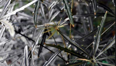 ARALIA Elegantissima 4 INCH Pot, Indoor Plant, Dark Foliage, Evergreen by Divine Botanicall