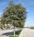Tree Seeds Alnus Rhombifolia White Alder Trees, 50 Seeds
