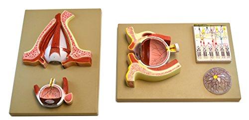 Eisco Labs Human Eye 5 Times - Sagittal Cutaway Model/Cross Section
