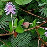 Mimosa pudica (touch-me-not) semi