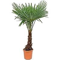 winterharte Palme Hanfpalme -18 °C trachycarpus fortunei palmen.