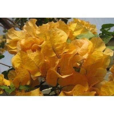 Bougainvillea California Gold Plant #GG01 : Garden & Outdoor