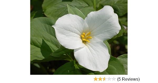 20  fresh seeds Hardy shade perennial Western White TRILLIUM trillium ovatum