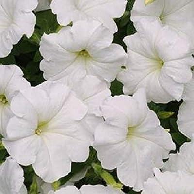 Organic Petunia Seeds Super Cascade White Seed Seeds 50 Thru 1, 000 Seeds - 1, 000 Seeds : Garden & Outdoor