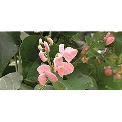 15+ Sunset Runner Bean (LMS) Seeds; Beautiful Salmon-Pink Flowers; a.k.a Seven Year Beans : Garden & Outdoor