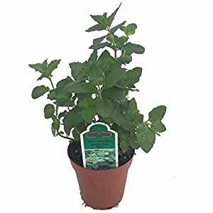 spearmint herb plant good scents mentha 3 pot mint plants garden outdoor. Black Bedroom Furniture Sets. Home Design Ideas