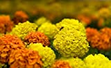 Mexican marigold - variety selection - seeds