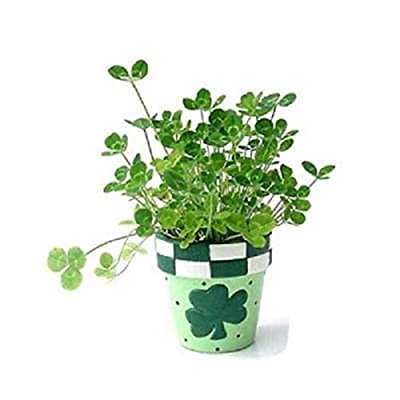 500 Bulk Seeds, St. Patricks Day Four Leaf Clover, Grow Your Own for Luck Mix, 3 and 4 Leaf Clover Mix : Garden & Outdoor