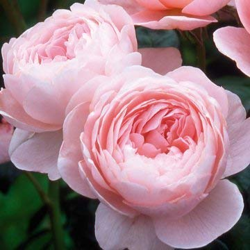 David Austin English Roses Queen of Sweden
