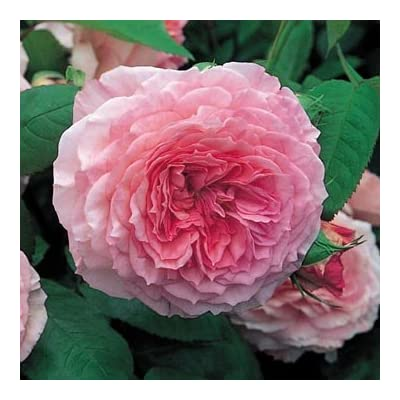 David Austin English Roses James Galway : Garden & Outdoor