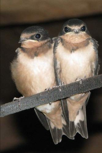 Barn Swallow (Hirundo Rustica) Bird Journal: 150 page lined notebook/diary