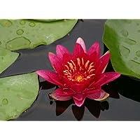 eine rotblühende Zwergseerose für den Teich, Teichpflanzen, Wasserpflanzen