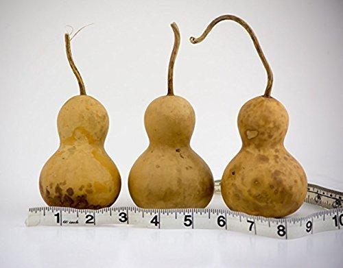 100 Snowman gourds Mini Bottle dried gourds Perfect for - Craft Bottle Snowman