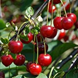 Heirloom 25 Seeds Cherry Tree Shrub Seeds Prunus Cerasus Cherry-tree Edible Fruit Seeds T007