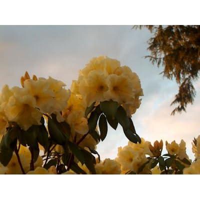 Rhododendron Karen Triplett #2 Container Size Plant -Bright Yellow Blooms! : Garden & Outdoor