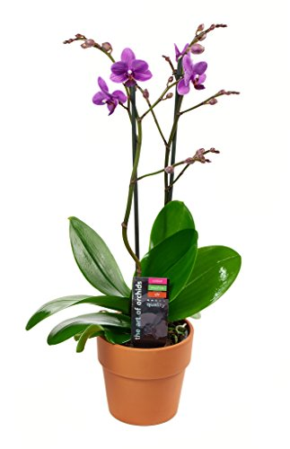 KaBloom Live Orchid Plant Collection