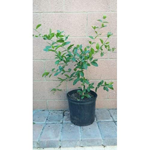 Barbados-Cherry Tropical Fruit Trees 3-4 Feet Height in 3 Gallon Pot #BS1 by iniloplant (Image #1)