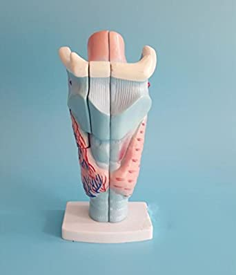 Amazon.com: Airgoesin Magnified Human Larynx Anatomical Showing ...