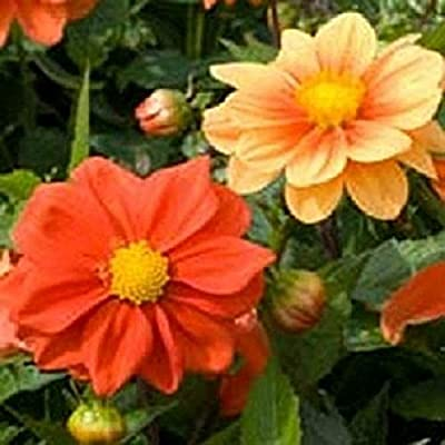 Organic 25 Dahlia Opera Orange Dwarf Dahlia Seeds Flower Seeds : Garden & Outdoor