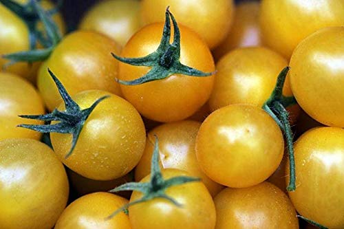 (Golden Sweet Cherry Tomato - High yields of small yellow cherry tomatoes!! GOOD!(10 -)