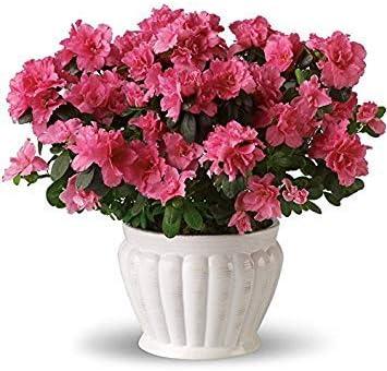 Semillas BloomGreen Co. Flor: Botta DE Clarkia Semillas Semillas ...