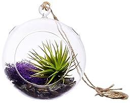 Hinterland Trading Purple Rein Terrarium, 6 Inch