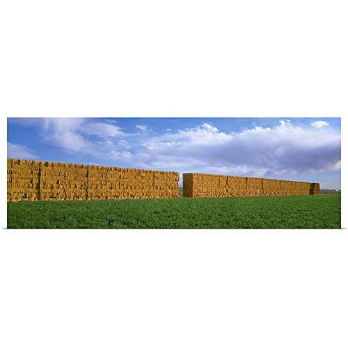 (GREATBIGCANVAS Poster Print Entitled Stacks of Alfalfa hay Bales with Alfalfa Field in The Foreground by Timothy Hearsum 60