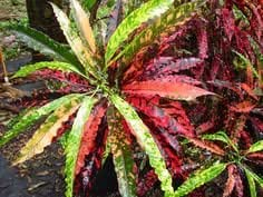 4plantas–Croton–rojo Batic–Live–planta Multi color