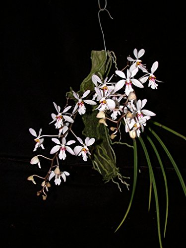 - Holcoglossum wangii - Orchid Plant - Indigenous to China/Vietnam