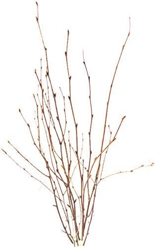 Tin Roof Treasure Natural Birch Branch Picks Sprays 1 2 Ft  Pack Of 15