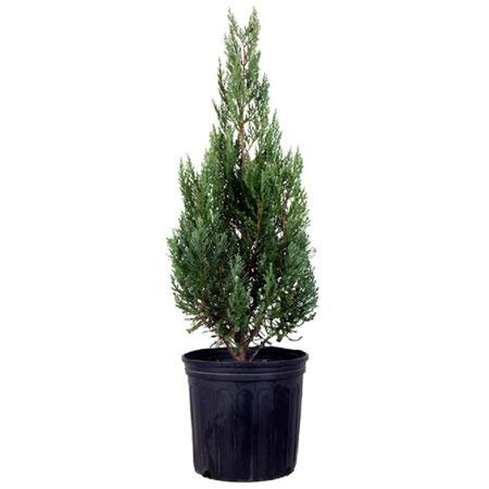 25 Thuja Green Giant Arborvitae 10-16'' Tall Trees by Thuja Green Giant