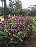 Gomphrena Globosa Purple Seeds Dry Flower 100 Seeds