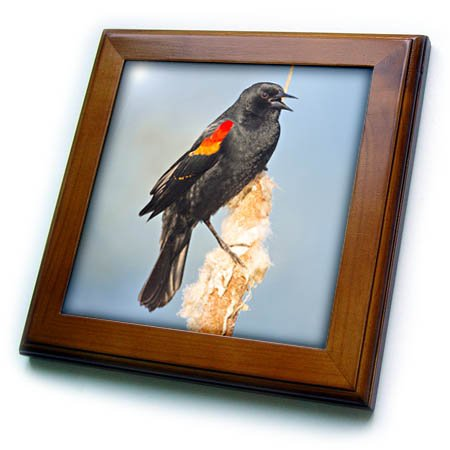 3dRose Danita Delimont - Songbirds - USA. Washington. Adult male Red winged Blackbird sings from a cattail. - 8x8 Framed Tile (ft_279656_1)