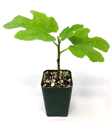 Chicago Hardy Fig Tree Live Plant, 1 Gallon (Best Fig Tree For Zone 7)