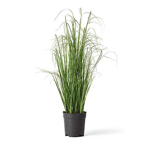 Onion Grass 21.5