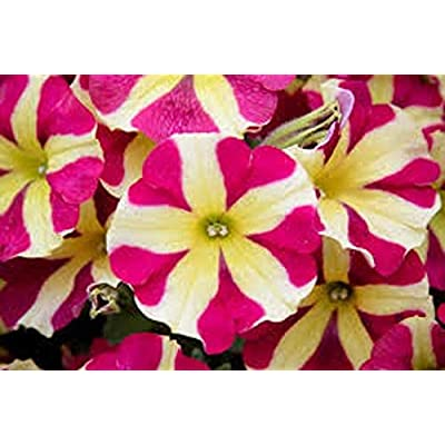 Double Petunia - Queen of Hearts - 5 Hearts - 4 Live Starter Plants : Garden & Outdoor