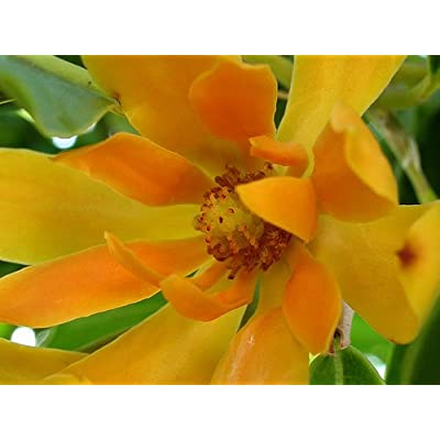 Fresh Joy Perfume Tree (Michelia Champaca) Seeds - Beautiful Orange Flowers Magnolia Tree: Toys & Games