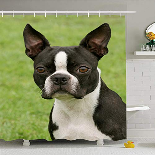 (Ahawoso Shower Curtain 72x78 Inches Brown Puppy Boston Terrier Wildlife Dog White Breed Cute Domestic Design Young Waterproof Polyester Fabric Set with Hooks)