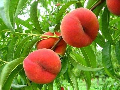 1 Saturn Peach Trees Well Rooted New Stock Plant up to 10 in Tall NHKM47 (Peach Stock)